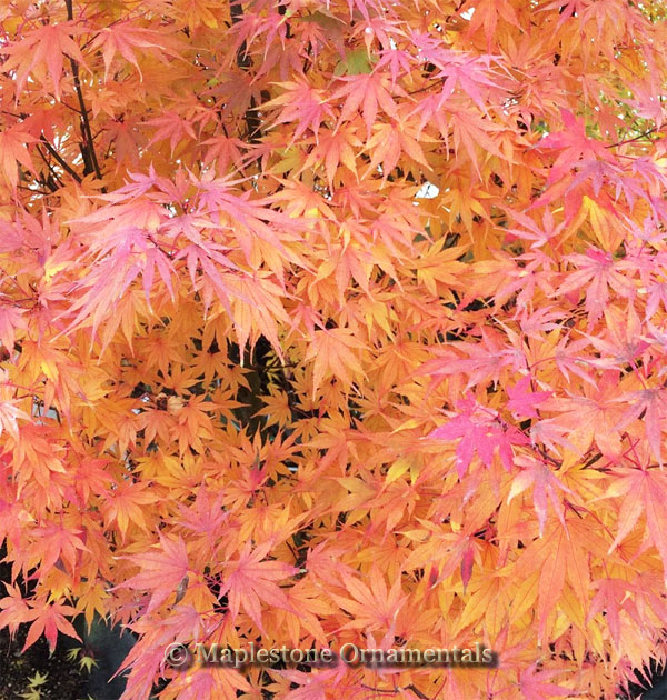 Susanne - Japanese Maples