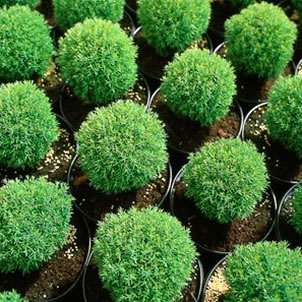 thuja occidentalis teddy 39 seedlings liners conifers. Black Bedroom Furniture Sets. Home Design Ideas