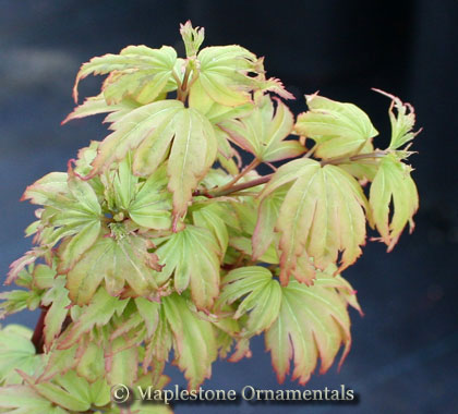 Tiny Tim - Japanese Maples