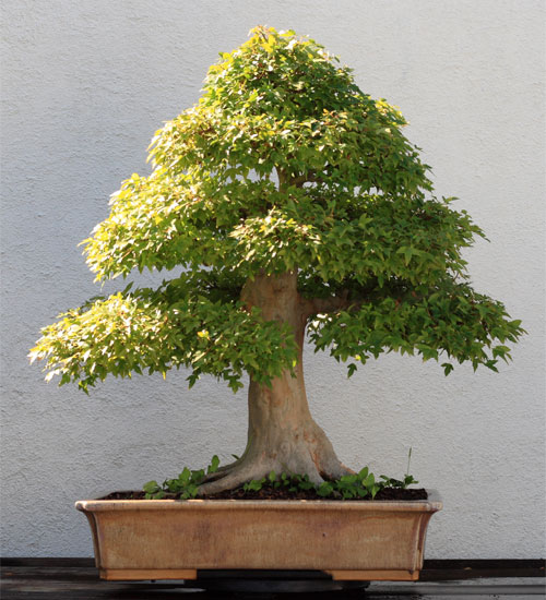 Trident Maple - Other Trees