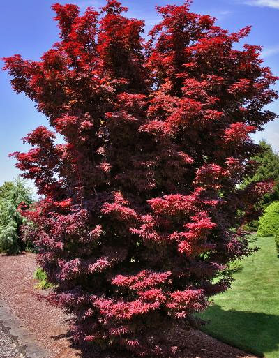 Twombly's Red Sentinel - Japanese Maples
