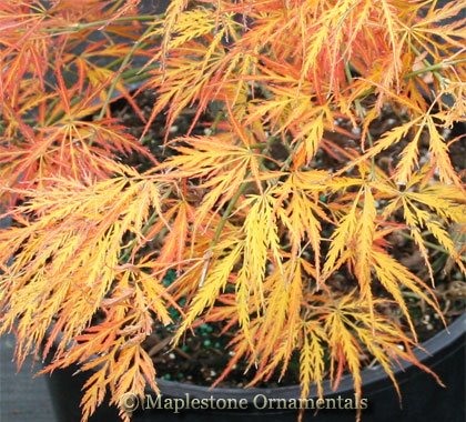 Van den Akker - Japanese Maples