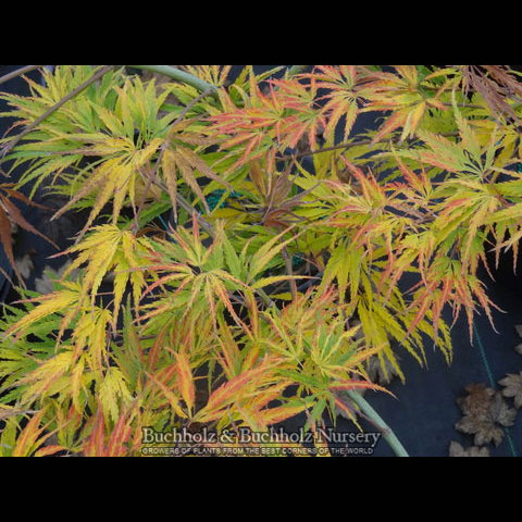Washi no o - Japanese Maples
