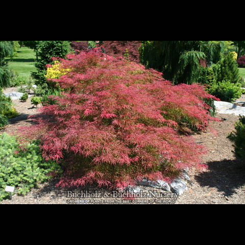 Watnong - Japanese Maples
