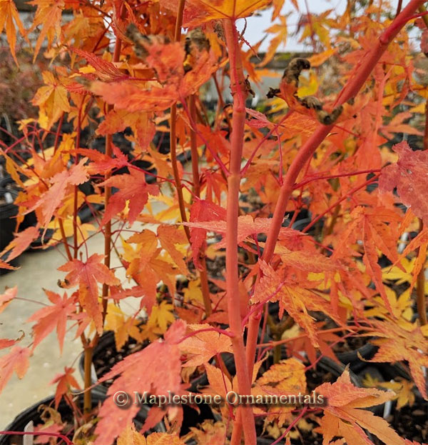 Wild Fire - Japanese Maples