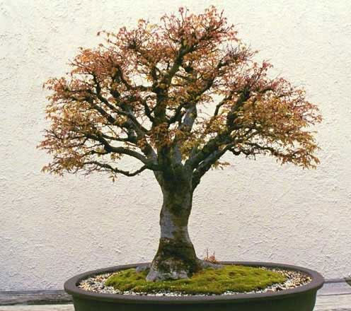 Example of a mature Zelkova bonsai
